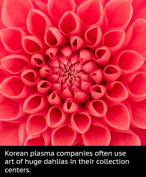 Korean plasma companies often use art of huge dahlias in their collection centers.